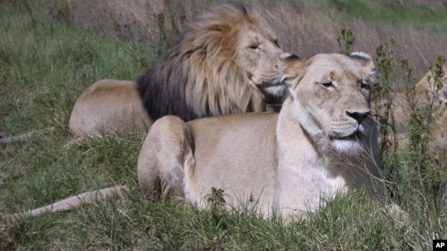 Researchers warn that the lion is rapidly losing its habitat in the savannahs of Africa.