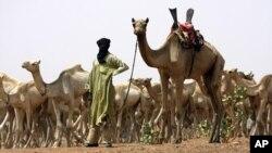 Daya daga cikin 'yan kabilar Abzinawan Nijer da garken rakuman shi.