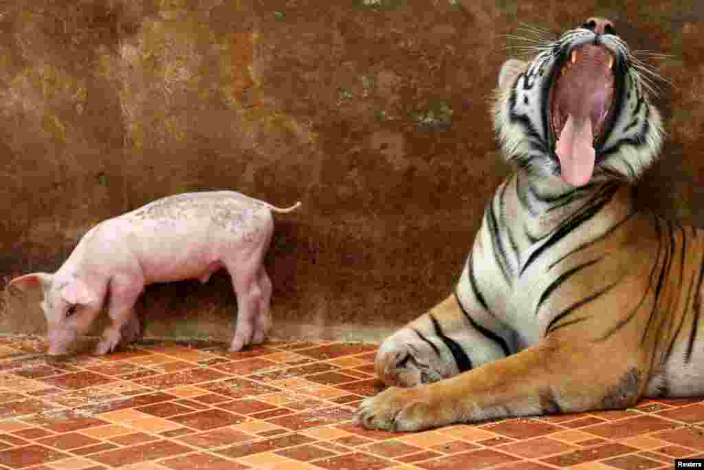 A tiger yawns next to a piglet at the Sriracha Tiger Zoo, in Chonburi province, Thailand.