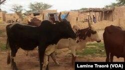 A Koutougou, des bœufs qui cherchent où partir, Ouagadougou, le 22 août 2019 (VOA/Lamine Traoré)