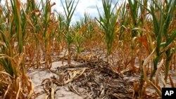 미국 전역의 가뭄이 심화되는 가운데, 일리노이 주 루이빌 시 농장의 말라붙은 옥수수 줄기들.