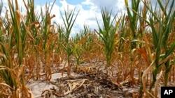 Các vườn bắp bị hư hại vì khô hạn, sau 2 tháng mưa rất ít và 10 ngày qua nhiệt độ trên 100 độ F ở Louisville, bang Illinois của Hoa Kỳ, 16/7/12