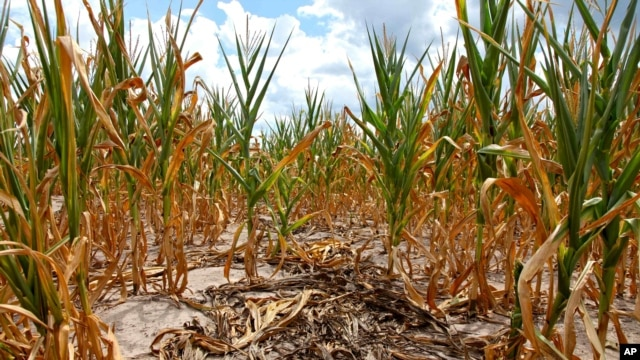 Burnt stalks lie on the ground among rows of corn damaged by drought in a parched field in Louisville, Ill. on Monday, July 16, 2012.