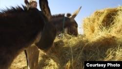 像马谢勒这样通常是穷困的南非农民说道,自己被迫贱卖珍贵的驴子或是面临驴子被窃贼偷走。由于中国市场对驴子各部位的需求日益增加,窃贼们亟于满足这些需求。(美国之音卡西姆拍摄)