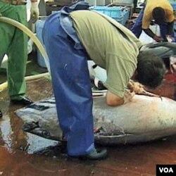 Seekor ikan tuna sirip baru sedang dipotong di atas sebuah kapal nelayan di Jepang.