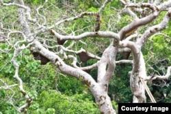 Sarang lebah dorsata di pohon boan yang tinggi di Sumbawa (foto: courtesy).