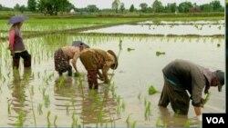 thai-pesticide