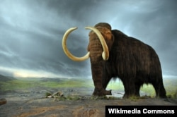 The woolly mammoth - in a display at the Royal BC Museum in Victoria, Canada - went extinct during the last ice age, which ended 4,000 years ago. (Wikipedia commons)