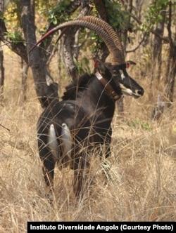 Palanca Negra Gingante com coleira no santuário em Malanje. Angola
