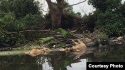 Bangkai babi yang dikeluarkan masyarakat di Sungai Bederah, Kecamatan Medan Marelan, Kota Medan. Selasa (5/11). (Courtesy: Camat Medan Marelan)