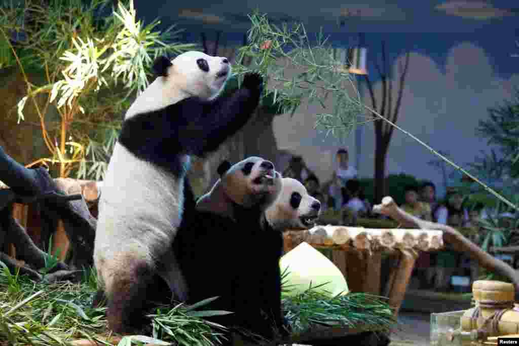 在中国广州长隆野生动物园,世界上唯一的大熊猫三胞胎萌萌、帅帅和酷酷2018年7月29日过生日,他们四岁了。