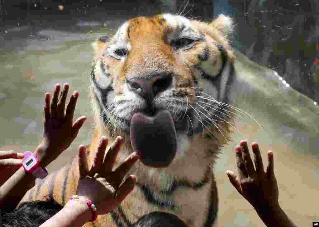 Orphan children interact with a Bengal tiger during a Christmas visit to the Malabon Zoo in Malabon city, north of Manila, Philippines.