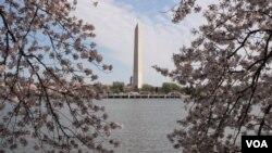 Hoa anh đào nở rộ tại thủ đô Washington.
