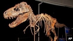 The fossil of a Tyrannosaurus bataar dinosaur will be returned to Mongolia after a Florida paleontologist smuggled it out of that country and sold it at auction for more than $1 million.