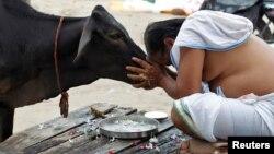 Seorang pria Hindu India melakukan ritual di depan seekor sapi (yang dianggap sebagi hewan suci di India), setelah melakukan mandi suci di Sangam, pertemuan sungai Ganga dan Yamuna, di kota Allahabad, India (foto: ilustrasi).