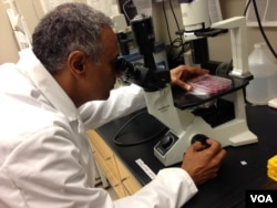 Dr. Akhilesh Pandey examines fetal cells under an inverted microscope. (Credit: Julie Taboh)