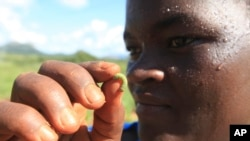 A woman holds an army worm she found feeding on her maize crop at a Farm near Harare, Zimbabwe. Armyworms are worms that become moths as adults. They can fly long distances.