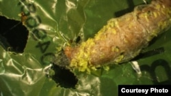 This image shows a wax worm chewing a hole through plastic. Polyethylene debris can be seen attached to the caterpillar. (Federica Bertocchini, Paolo Bombelli, and Chris Howe)