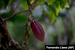 In this April 16, 2015 photo, a cacao pod hangs from a tree at the Agropampatar chocolate farm co-op in El Clavo, Venezuela.