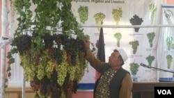انواع مختلف انگور افغانستان در هرات
