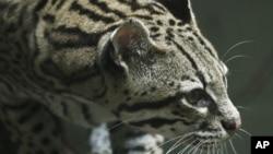 El ocelote, un felino americano que alcanza hasta medio y metro de largo, en EE.UU. está en peligro de extinción.