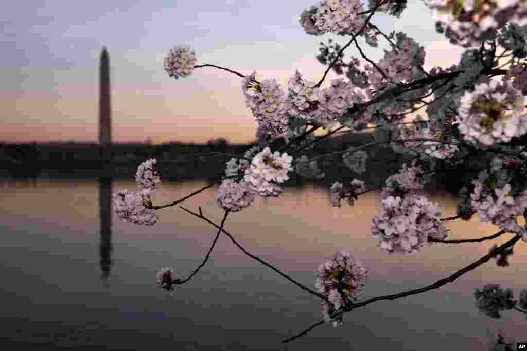 چیری کے مشہور درخت ایک صدی قبل جاپان نے امریکہ کو تحفے میں دیے تھے۔