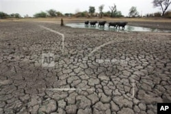 FILE - Livestock find water on parched land in India, July 15, 2014. Half of the four billion people faced with water scarcity live in China and India.