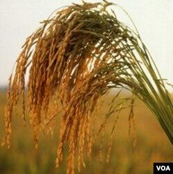 Menurut LIPI, Varietas baru tanaman pangan perlu dikembangkan untuk mewujudkan ketahanan pangan.