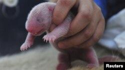 Un oso panda recién nacido es manipulado por un empleado del zoológico Bifengxia de China. El domingo por la noche nació un cachorro de oso panda en el zooloógico nacional de Washington DC.