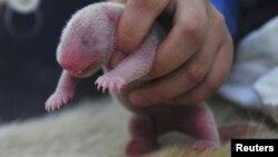 Aspecto de un oso panda recién nacido, como el que murió en el zoológico de Washington por falta de oxígeno.