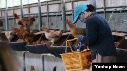 23일 경북 영천시 한 농장 관계자가 계란을 수거하고 있다. 이 농장에서는 디클로로디페닐트라클로로에탄(DDT) 달걀이 나온 데 이어 닭에서도 같은 성분이 검출됐다.