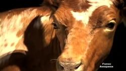 Несподівана корова: Чим заманюють до музеїв