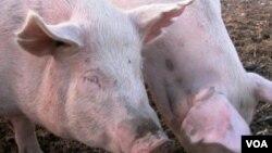 猪的一身都是宝。
