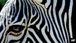 A zebra in a Florida zoo (file photo)