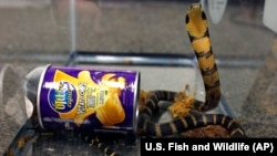 A king cobra was hidden in a potato chip can. It was sent from Hong Kong to the U.S.