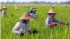 Women farm workers tending to a rice plantation outside Naypyidaw on 1 May, 2018 during Labour Day in Myanmar.