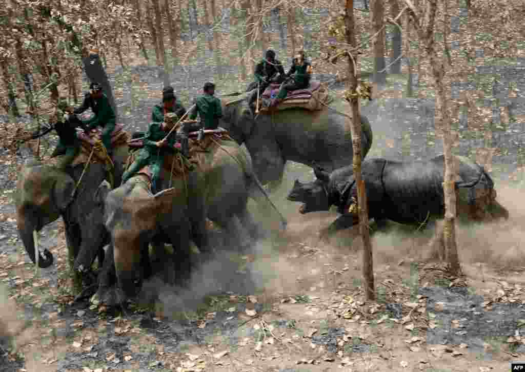 A relocated rhino charges a Nepalese forestry and technical team after being released in Chitwan National Park some of 250 kilometers south of Kathmandu, April 3, 2017.