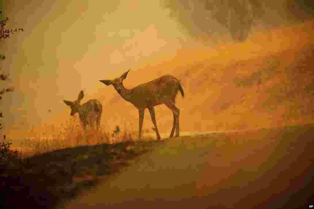 Deer graze along a road covered in fire retardant as the Carr Fire burns near Redding, California, July 28, 2018.