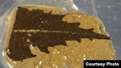 This 24,700-year-old leaf, dated by radiocarbon, was found in sediment cores from Japan's Lake Suigetsu. (Credit: Richard Staff)