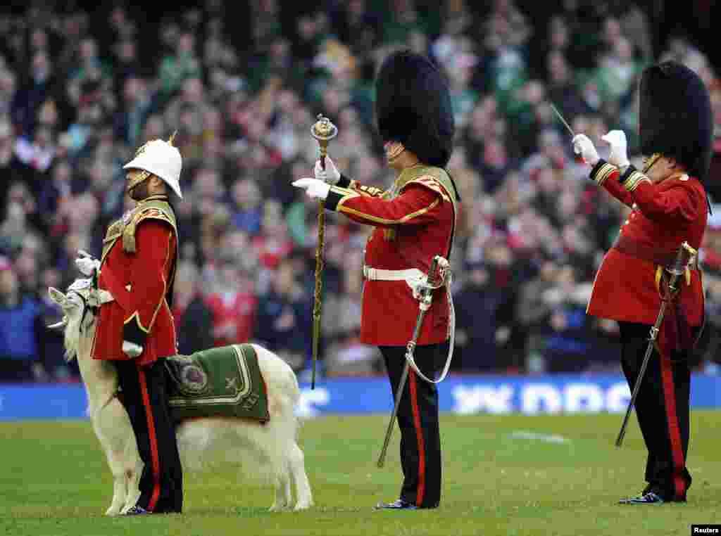 La mascota de la Banda Regimental y Cuerpo de Tambores del Regimiento Real de Gales, participa en la Copa RBS de Seis Naciones de rugbi, en Cardif, Gran Bretaña.