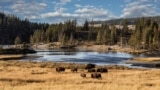 Bison in Yellowstone, the world's first national park, established in 1872