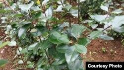 Tanaman khat, bahan baku narkoba chatinone atau katinona, yang ditanam di daerah Cisarua, Jawa Barat. (Foto: Courtesy BNN)