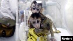 چین کے ایک سائنسی مرکز میں جین میں تبدیلی کر کے کلون کیے گئے بندر۔ 18 جنوری 2019