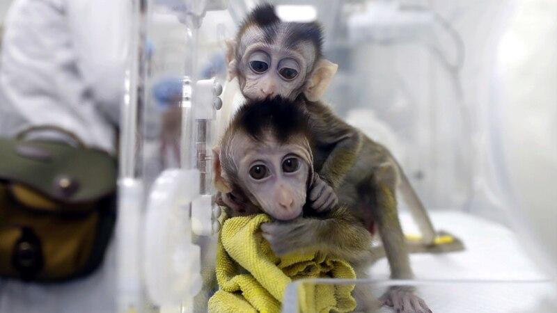 بندروں میں انسانی دماغ کے جین کی پیوند کاری