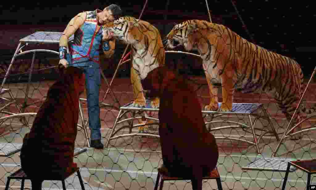 玲玲马戏团的驯兽师 Alexander Lacey 和老虎在玲玲马戏团(Ringling Bros. and Barnum & Bailey Circus)的最后一次表演中(2017年5月21日)