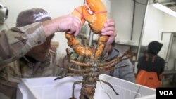 Lobster segar siap dikirim dari Maine ke China