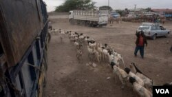 Herders guide goats and sheep the at the livestock market in the Somaliland capital Hargeisa before sending them to the port of Berbera for export, August 9, 2016. (J. Pantinkin/VOA)