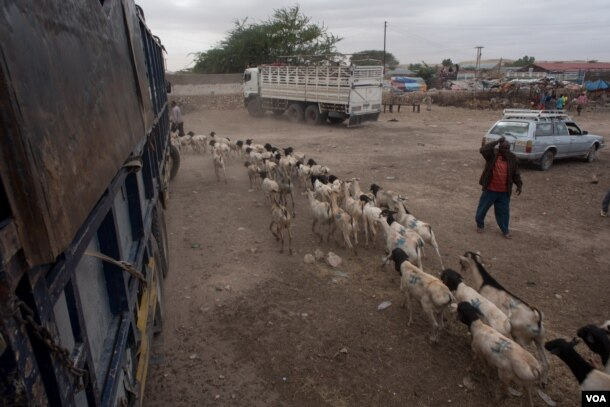 Herders guide goats and sheep the at the livestock market in the Somaliland capital Hargeisa before sending them to the port of Berbera for export, August 9, 2016. (J. Patinkin/VOA)