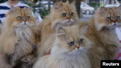 ماساهیکو سوگا می گوید با نشان دادن گربه هایش به عموم می خواهد علاقه مردم ژاپن به نگه داشتن گربه خانگی را افزایش دهد.