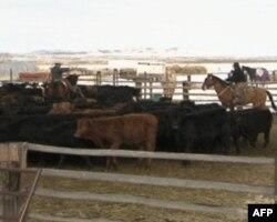 埃尔科是美国西部畜牧业的中心